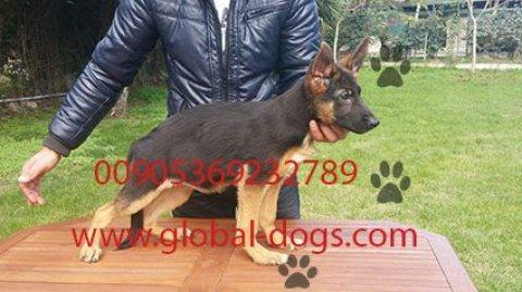 كلب جيرمن شيبرد بيور  للبيع