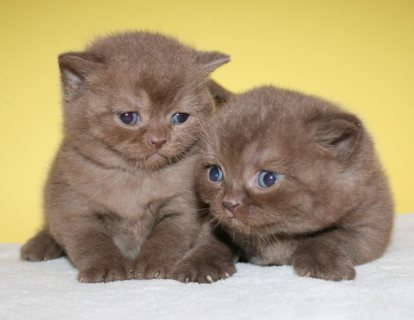 Cute British short hair kittens