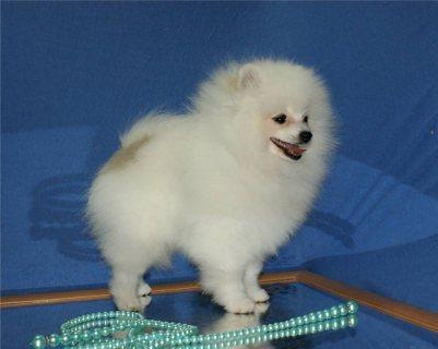 Priceless White Pomeranian Puppies For Adoption