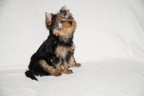 Healthy Yorkie Puppy for Adoption