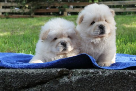 AKC Registered Chow-Chow Puppies