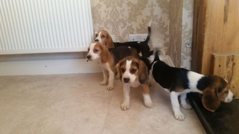 Adorable Beagle Puppies