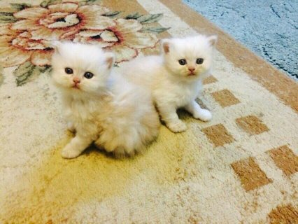 Raised indoors Pure White kittens