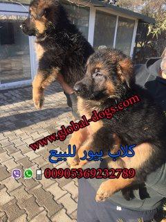 كلب حراسة الماني جيرمن شيبرد بيور –بورصة تركيا