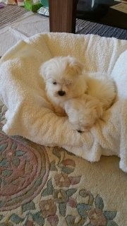 Very Tiny Kc Registered Maltese Puppies
