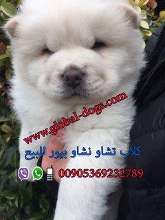 كلب تشاو تشاو  بيور للبيع