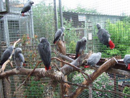 رمادي الببغاوات الأفريقية صحية وبيض للبيع...