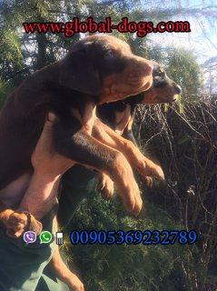 عرض سعر كلب دوبرمان بنشير بيور للبيع