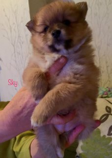 friend and lovely pomeranian puppy for sale