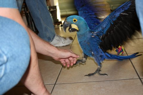 i have pair of hyacinth macaw parrots