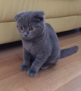 straight scottish fold cats
