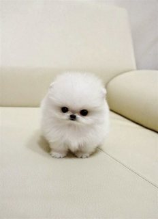 Healthy Tiny Tea Cup Pomeranian Puppies