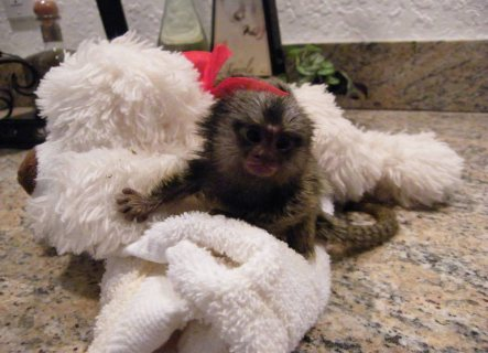 Well trained hand marmoset raised monkey available for home