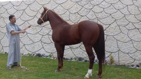 حصان ثلات أرباع للبيع