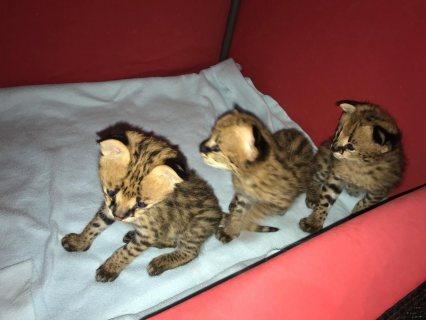 قطط سافانا،  سيرفال بنغالي و كاراكال
