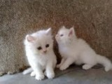 Cute Tiny Teacup Persian Kittens out for adoption