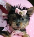 Super Tiny Teacup Yorkie Puppies Available