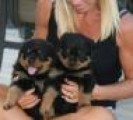 Rottweiler puppies for good home