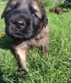 Leonberger Puppies for adoption