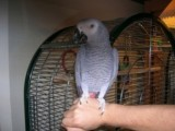 male and female African grey with cage parrot