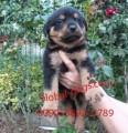 كلب روت فايلرالشرس للبيع