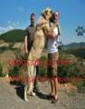 كلب الكنغال الوحش التركي