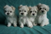 Gorgeous Maltese Puppies For adoption