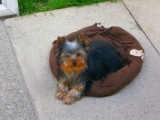 Affectionate Charming teacup Yorkie puppies