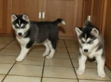 Intelligent Siberian Husky puppies