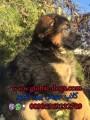 عرض سعر كلب جيرمن شيبرد بيور للبيع