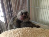 مارموسيتس القردة للبيع